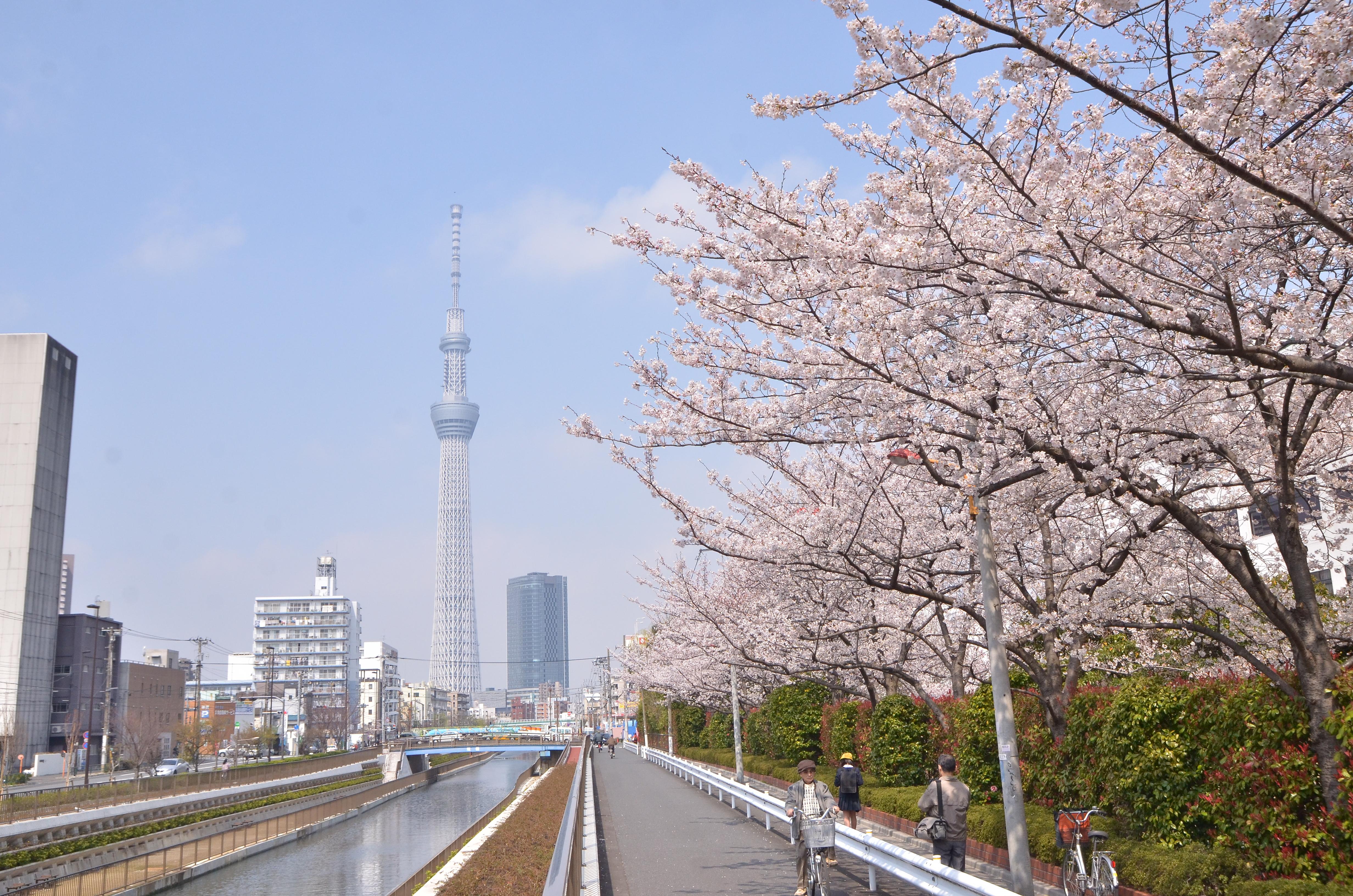 桜並木と東京スカイツリー